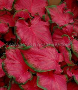 CALADIUM STRAPLEAVED 'CHERRY TART' NO.2 (400 P.CARTON)