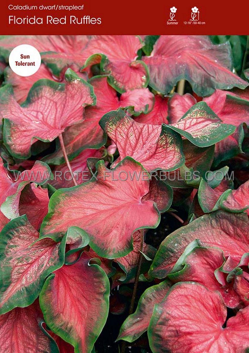 caladium strapleaved florida red ruffles mammoth 50 pcarton