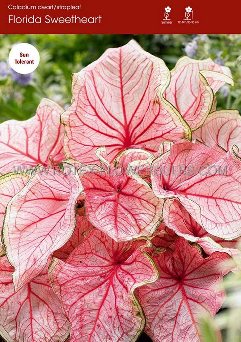 caladium strapleaved florida sweetheart jumbo 100 pcarton