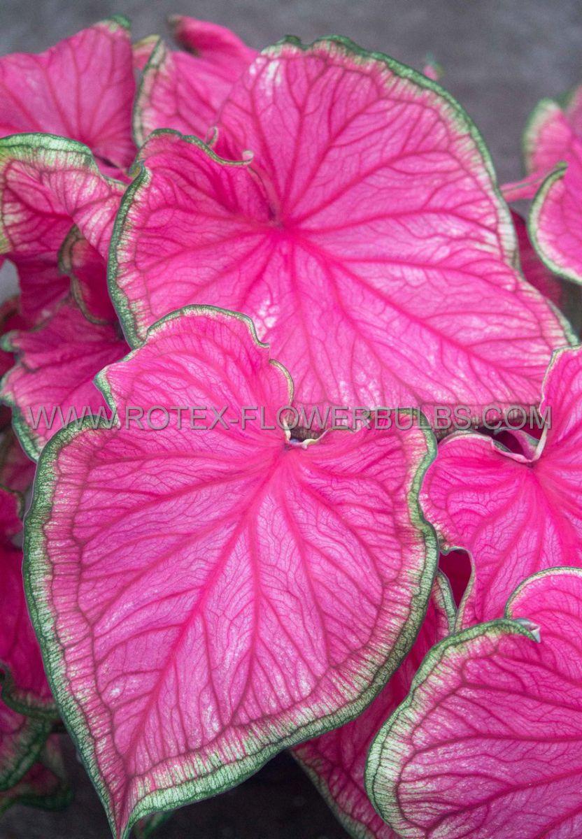 caladium strapleaved florida sweetheart no2 400 pcarton