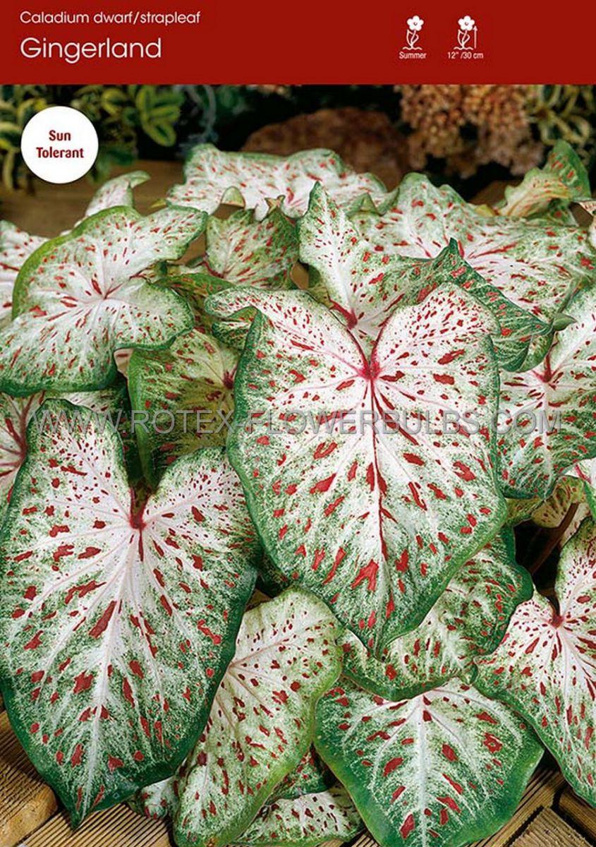 caladium strapleaved gingerland jumbo 100 pcarton