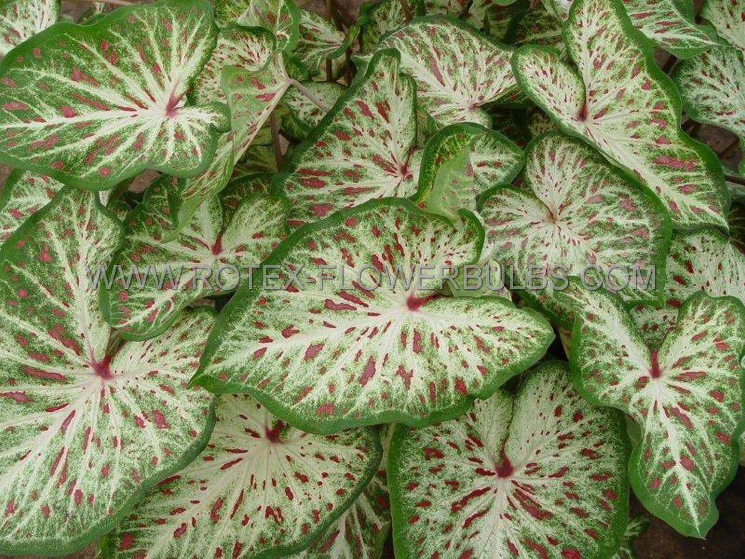 caladium strapleaved gingerland no2 400 pcarton