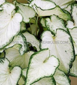 CALADIUM STRAPLEAVED 'ICICLE' NO.1 (200 P.CARTON)