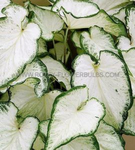 CALADIUM STRAPLEAVED 'ICICLE' NO.2 (400 P.CARTON)