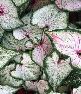 CALADIUM STRAPLEAVED 'PEARL BLUSH' NO.2 (400 P.CARTON)