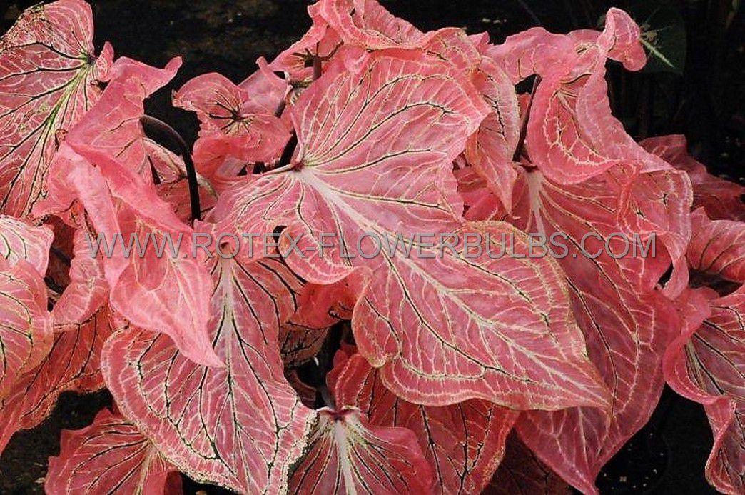 caladium strapleaved pink symphony no1 200 pcarton