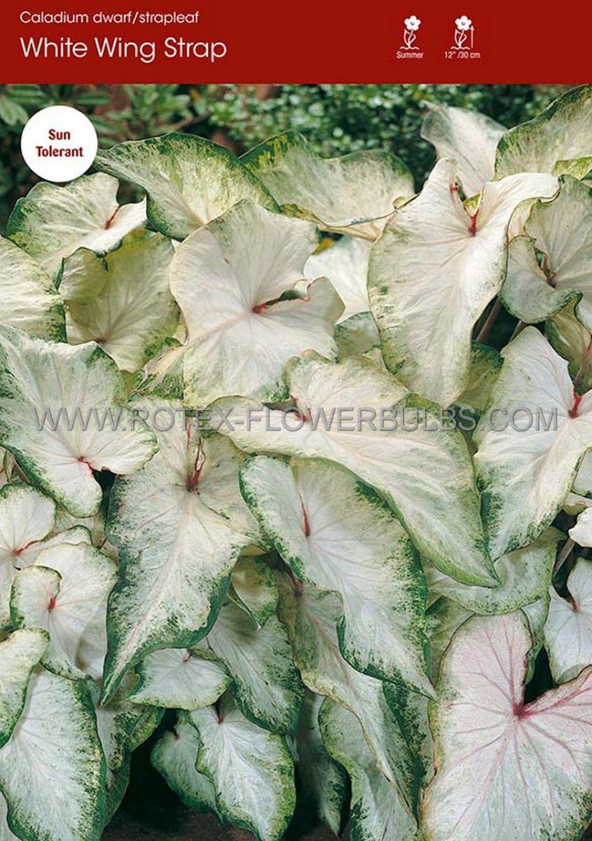 caladium strapleaved white wing jumbo 100 pcarton
