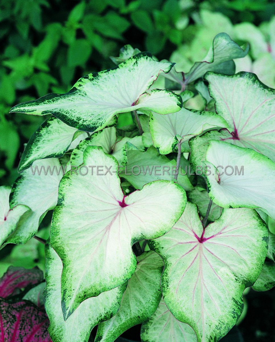 caladium strapleaved white wing no1 200 pcarton