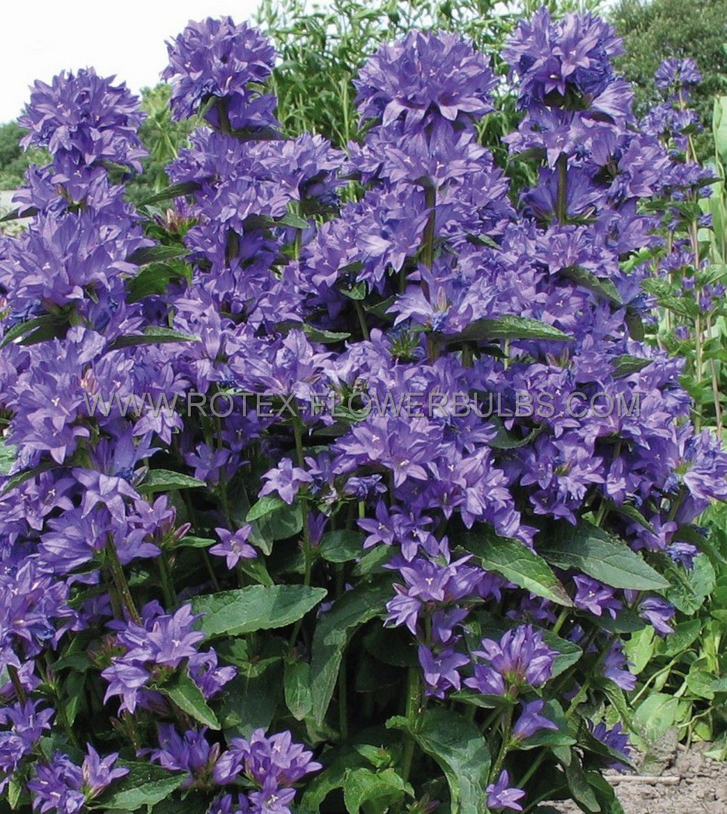 campanula bellflower glomerata freya i 25 pbag