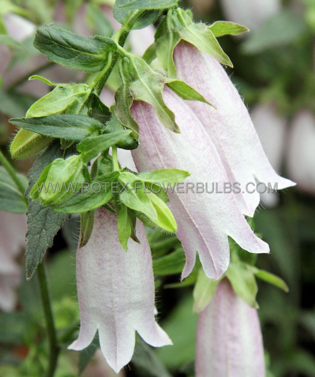 campanula bellflower punctata silver bells i 25 pbag