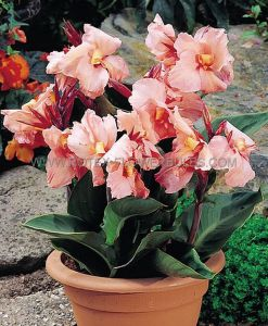CANNA 'AIDA' 3-5 EYE (25 P.OPEN TOP BOX)