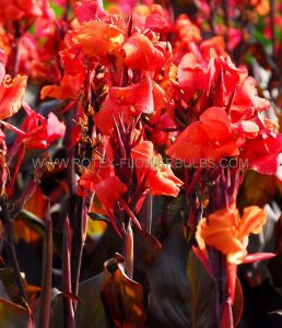 CANNA 'BLACK KNIGHT' 2-3 EYE (25 P.CARTON)