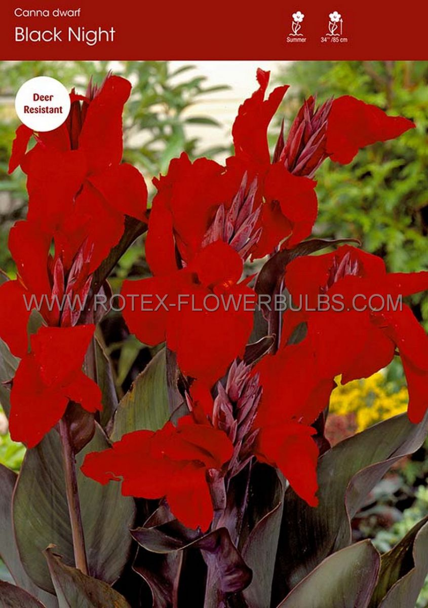 canna black knight 23 eye 25 pcarton