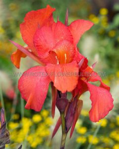 CANNA 'CITY OF PORTLAND' 3-5 EYE (25 P.OPEN TOP BOX)