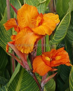 CANNA COLORED FOLIAGE 'PRETORIA' 2-3 EYE (25 P.CARTON)