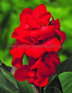 CANNA DWARF CANNASOL 'HAPPY CARMEN' 3-5 EYE (25 P.OPEN TOP BOX)