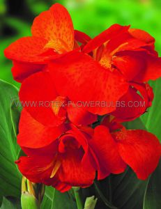 CANNA DWARF CANNASOL 'HAPPY CLEO' 2-3 EYE (25 P.CARTON)