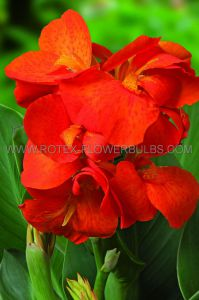 CANNA DWARF CANNASOL 'HAPPY CLEO' 3-5 EYE (25 P.OPEN TOP BOX)