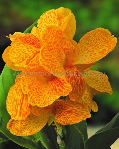 CANNA DWARF CANNASOL 'HAPPY EMILY' 2-3 EYE (25 P.CARTON)