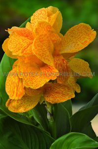 CANNA DWARF CANNASOL 'HAPPY EMILY' 3-5 EYE (25 P.OPEN TOP BOX)