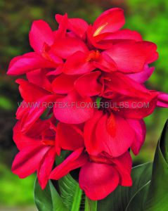CANNA DWARF CANNASOL 'HAPPY ISABEL' 2-3 EYE (25 P.CARTON)