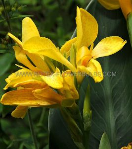 CANNA 'IBIZA' 3-5 EYE (25 P.OPEN TOP BOX)