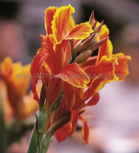 CANNA 'LUCIFER' 2-3 EYE (25 P.CARTON)