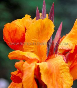 CANNA 'ORANGE BEAUTY' 3-5 EYE (25 P.OPEN TOP BOX)
