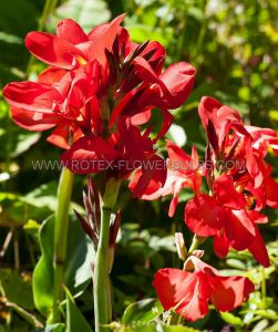 CANNA 'RED DAZZLER' 3-5 EYE (25 P.OPEN TOP BOX)