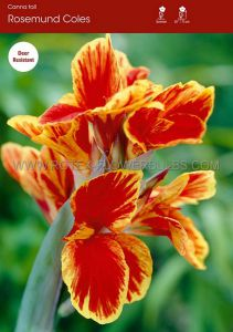 CANNA 'ROSEMOND COLES' 3-5 EYE (25 P.OPEN TOP BOX)
