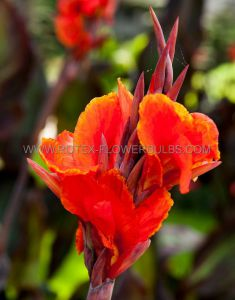 CANNA TALL 'RED KING HUMBERT' 3-5 EYE BULK SUPER VALUE (100 P.PLASTIC CRATE)