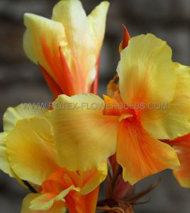 CANNA 'TROPICAL SUNRISE' 3-5 EYE (25 P.OPEN TOP BOX)