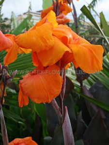 CANNA 'WYOMING' 3-5 EYE (25 P.OPEN TOP BOX)