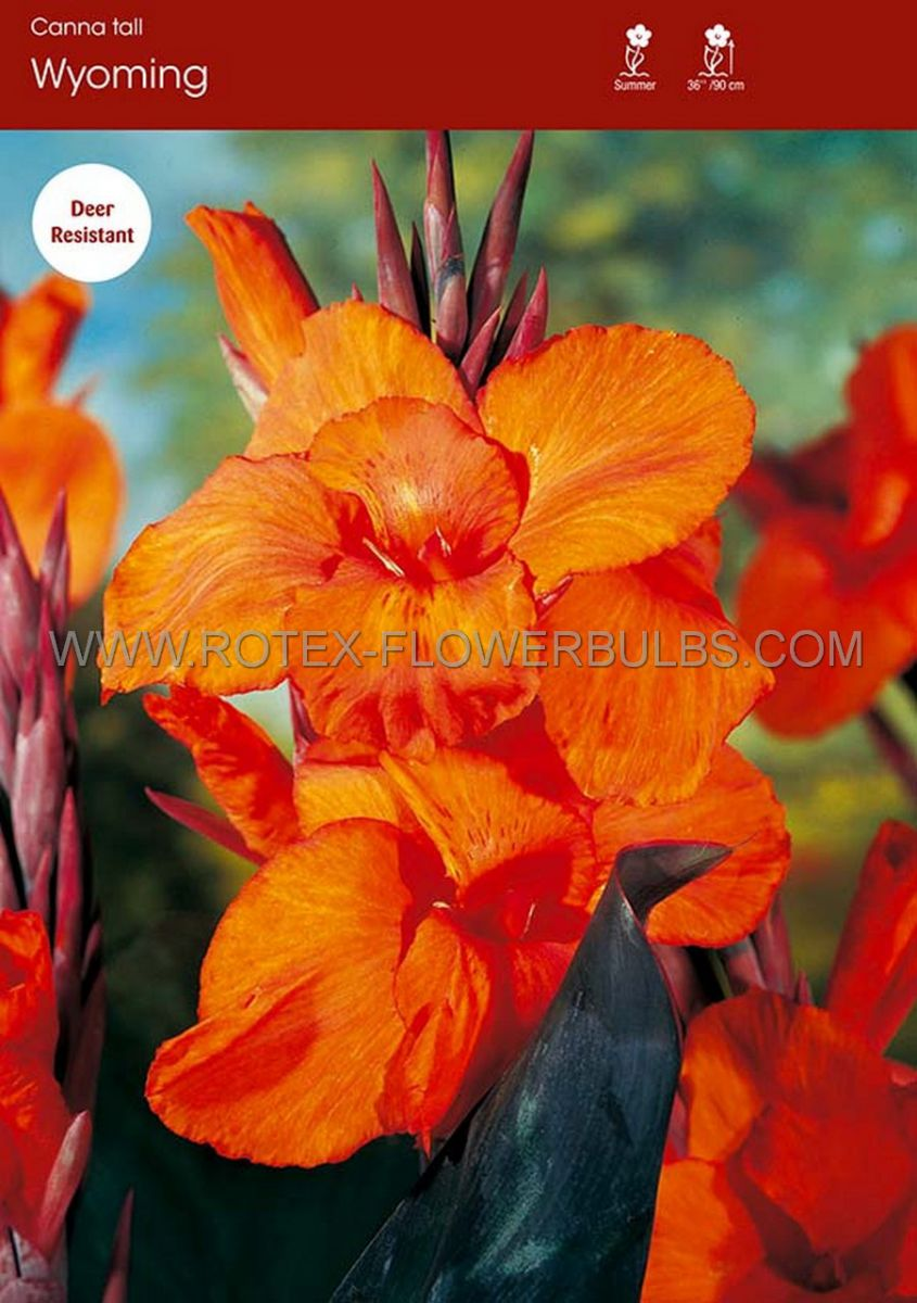 canna wyoming 35 eye bulk super value 100 pplastic crate