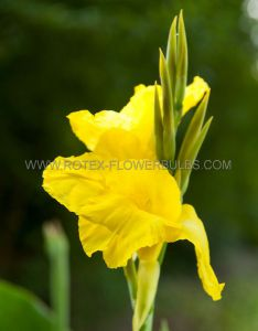 CANNA 'YELLOW KING HUMBERT' 3-5 EYE (25 P.OPEN TOP BOX)