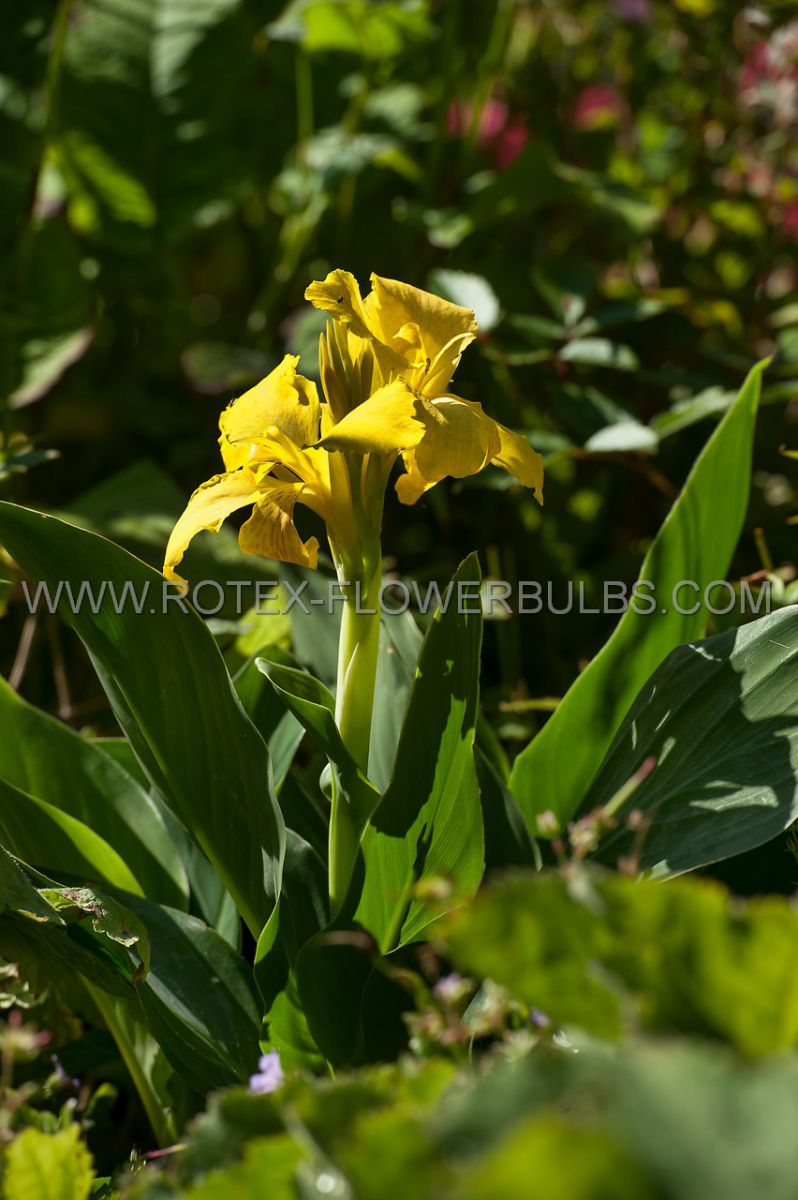 canna yellow king humbert 35 eye 25 popen top box