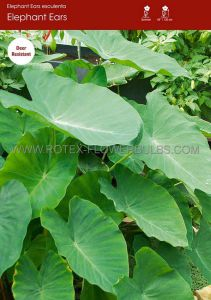 "COLOCASIA ESCULENTA (ELEPHANT EAR) 9""-11"" (25 P.OPEN TOP BOX)"