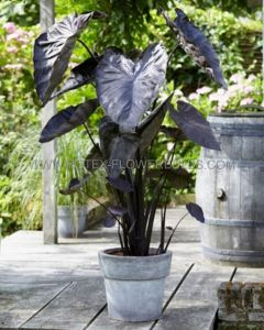 "COLOCASIA ESCULENTA (ELEPHANT EAR) 'BLACK CORAL' 7""-9"" (100 P.CARTON)"