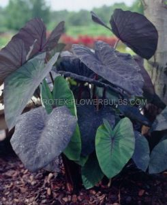 "COLOCASIA ESCULENTA (ELEPHANT EAR) 'BLACK MAGIC' 5""-7"" (100 P.CARTON)"