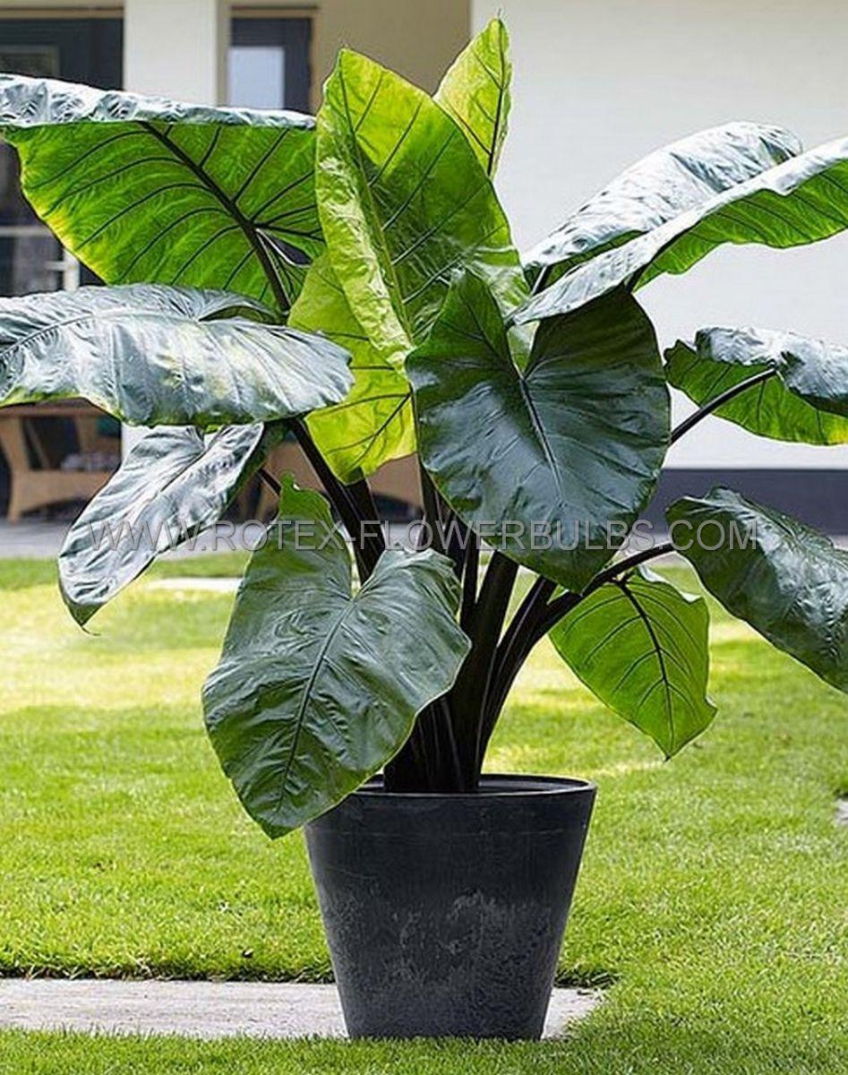 colocasia esculenta elephant ear black stem 57 100 pcarton