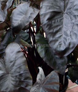 COLOCASIA ESCULENTA (ELEPHANT EAR) 'DIAMOND HEAD' TOPSIZE (15 P.OPEN TOP BOX)