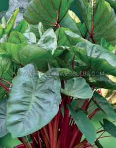 "COLOCASIA ESCULENTA (ELEPHANT EAR) 'HAWAIIAN PUNCH' 5""-7"" (100 P.CARTON)"