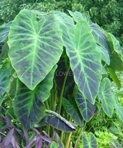 "COLOCASIA ESCULENTA (ELEPHANT EAR) 'ILLUSTRIS' 7""-9"" (100 P.CARTON)"