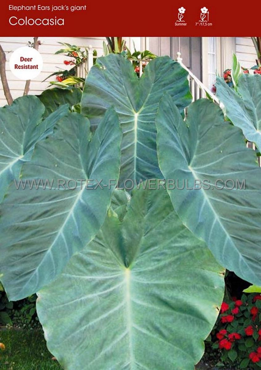 colocasia esculenta elephant ear jacks giant 79 30 popen top box