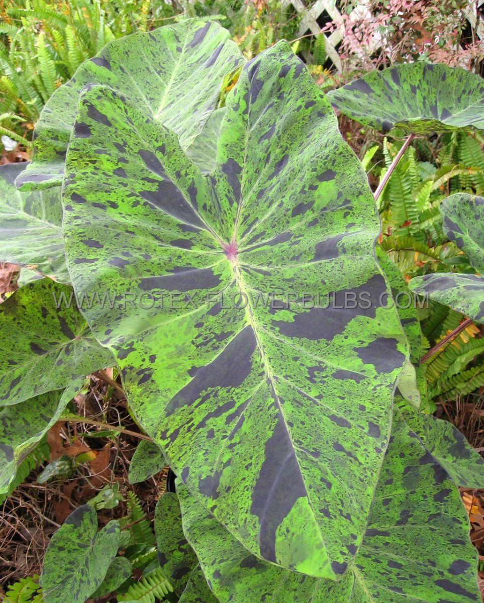 colocasia esculenta elephant ear mojito 79 100 pcarton