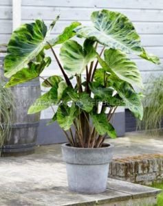 COLOCASIA ESCULENTA (ELEPHANT EAR) 'MOJITO' TOPSIZE (15 P.OPEN TOP BOX)