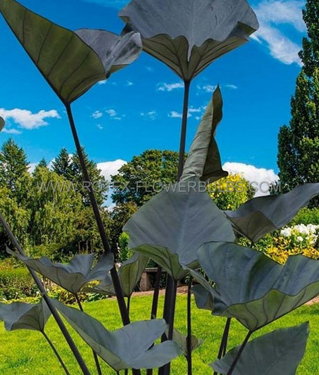 colocasia esculenta elephant ear tea cup 79 100 pcarton