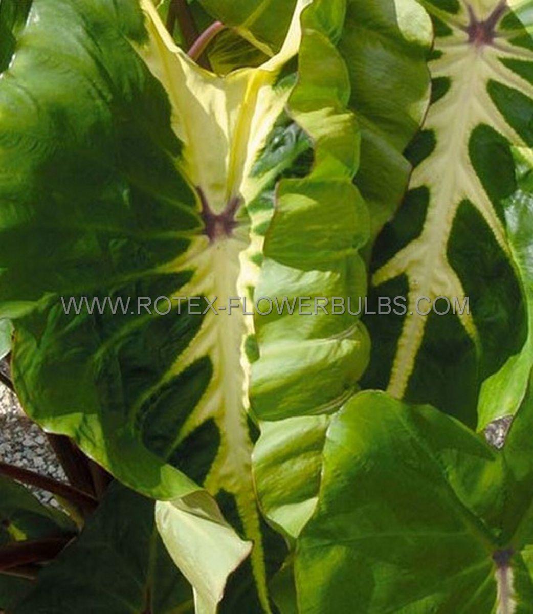 colocasia esculenta elephant ear white lava 911 100 pcarton