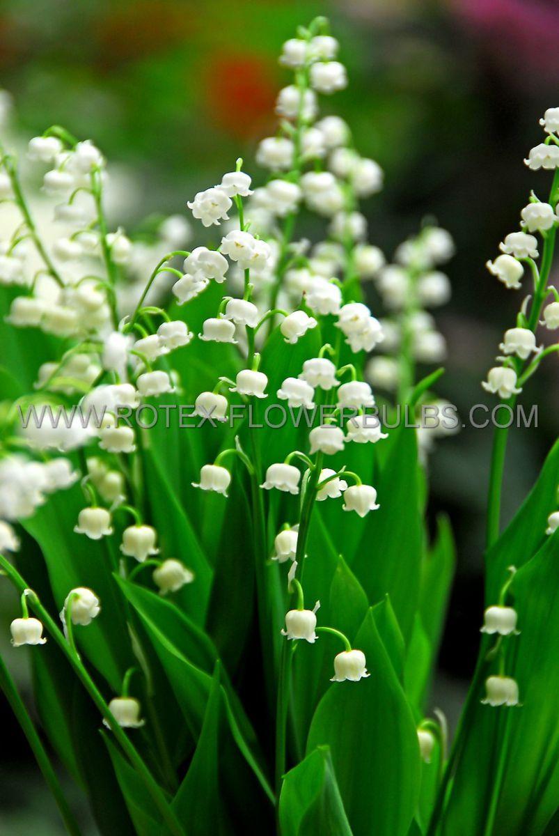convallaria lily of the valley i 10 pkgsx 5