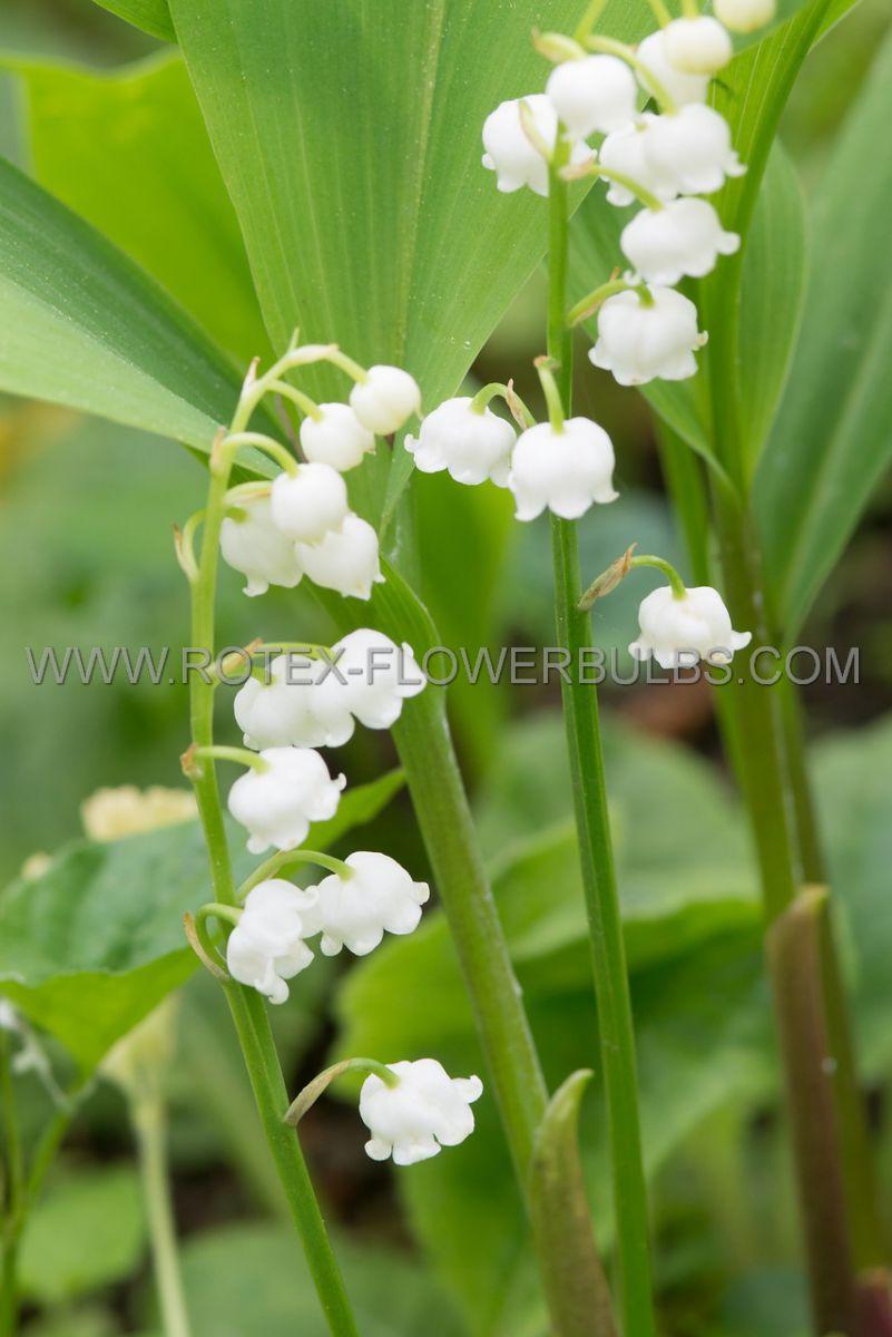 convallaria lily of the valley i 100 popen top box